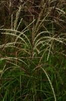 Garten-Chinaschilf, Garten-Landschilf • Miscanthus sinensis Graziella