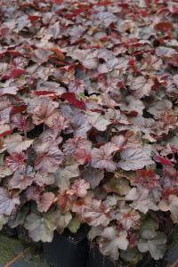 Purpurglöckchen • Heuchera micrantha Palace Purple