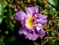 Kletterrose Veilchen Blau • Rosa Veilchen Blau