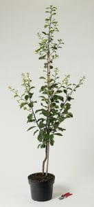 Pflaume Graf Althans Reneklode • Prunus domestica Graf Althans Reneklode