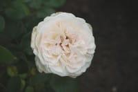 Rose Sebastian Kneipp • Rosa Sebastian Kneipp