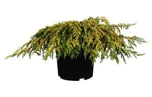 Gew.Wacholder Goldschatz • Juniperus communis Goldschatz