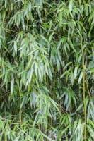 Grüner Bambus • Phyllostachys bissetii