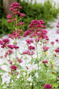 Rotblühende Garten-Spornblume • Centranthus ruber, rot
