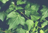 Efeu Hibernica • Hedera helix Hibernica