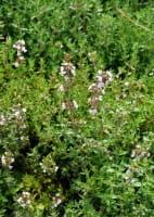 Thymian • Thymus vulgaris