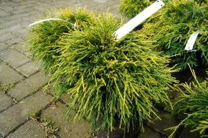 Gelbe Fadenzypresse • Chamaecyparis pisifera Sungold
