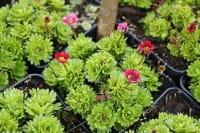 Garten-Moos-Steinbrech • Saxifraga x arendsii Harder Zwerg