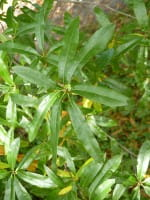 Weiden-Eiche • Quercus phellos