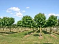 Kugelakazie Kugel-Robinie • Robinia pseudoacacia Umbraculifera