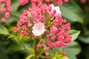Berglorbeer Ginkona • Kalmia latifolia Ginkona