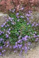 Hängepolster Glockenblume • Campanula poscharskyana