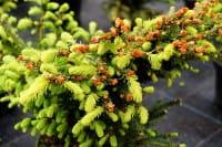 Strauch-Fichte • Picea abies Nidiformis
