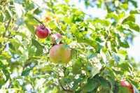 Apfel Ruhm von Kirchwerder • Malus Ruhm von Kirchwerder
