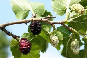 Schwarze Maulbeere Maulbeerbaum • Morus nigra