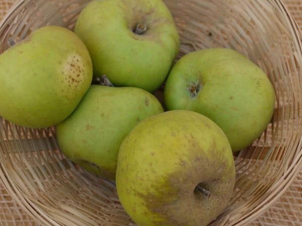 Apfel Kanadarenette • Malus Kanadarenette