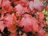 Teufelsstrauch oder Rote Fasanenspiere • Physocarpus opulifolius Diabolo