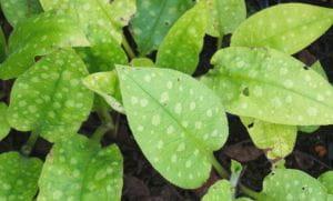 Großgeflecktes Garten-Lungenkraut Mrs Moon • Pulmonaria saccharata Mrs Moon