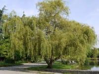 Lockenweide • Salix erythroflexuosa