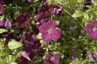 Waldrebe Royal Velours • Clematis viticella Royal Velours