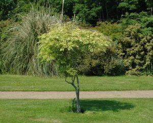 Blasenbaum • Koelreuteria paniculata
