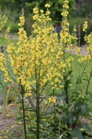 Königskerze • Verbascum nigrum