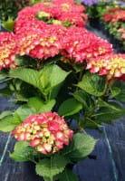 Bauernhortensie Rosita • Hydrangea macrophylla Rosita