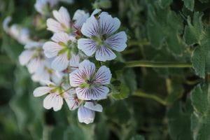 Kaukasus Storchschnabel • Geranium renardii