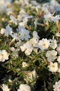 Garten-Teppich-Flammenblume White Admiral • Phlox douglasii White Admiral