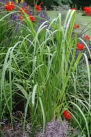 Garten-Goldbandgras Aureomarginata • Spartina pectinata Aureomarginata
