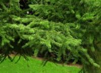 Graubläuliche Douglasie • Pseudotsuga menziesii caesia