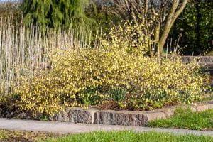 Niedrige Scheinhasel • Corylopsis pauciflora