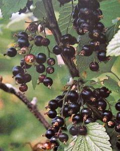 Schwarze Johannisbeere Titania • Ribes nigrum Titania