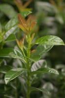 Kirschlorbeer Kleopatra® • Prunus laurocerasus Kleopatra®