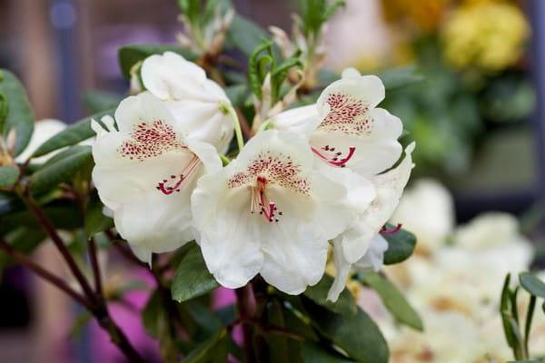 Rhododendron Viscy • Rhododendron Hybride Viscy
