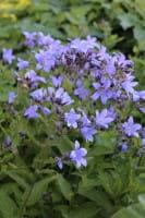 Garten Dolden Glockenblume • Campanula lactiflora Prichard