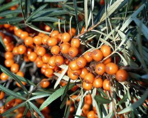 Sanddorn, männlich, Pollmix • Hippophae rhamnoides Pollmix