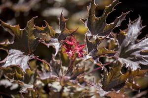 Roter Spitzahorn Faassens Black • Acer platanoides Faassens Black