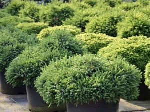 Kleine Kugelfichte • Picea abies Little Gem