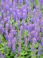 Garten-Blüten-Salbei Sensation Deep Blue • Salvia nemorosa Sensation Deep Blue
