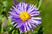 Niedrige Garten Aster • Aster alpinus Dunkle Schöne