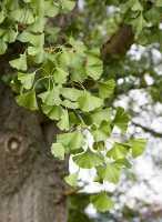 Fächerblattbaum • Ginkgo biloba