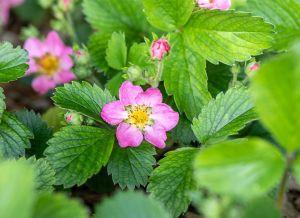Garten-Monats-Erdbeere Alexandria • Frageria vesca varigata semperflorenz Alexandria