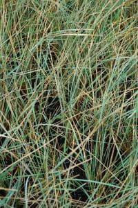 Garten-Blaustrahlhafer Saphirsprudel • Helictotrichon sempervirens Saphirsprudel