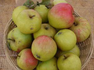 Apfel Martini • Malus Martini