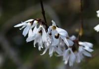Weiße Forsythie • Abeliophyllum distichum