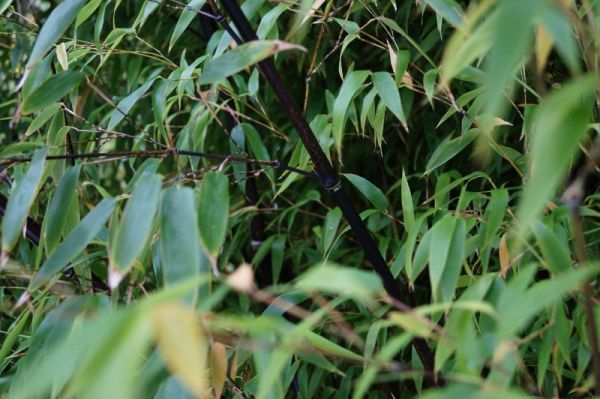 Schwarzrohrbambus • Phyllostachys nigra