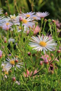 Garten Pyrenäen Aster • Aster pyrenaeus Lutetia