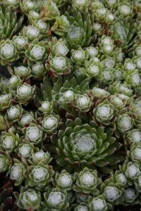 Hauswurz • Sempervivum arachnoideum