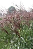 Garten-Chinaschilf Malepartus • Miscanthus sinensis Malepartus